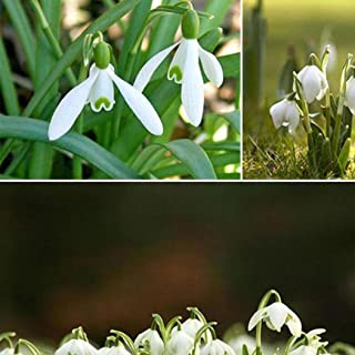 Lily of the Valley flower seeds, bell orchid seeds, rich aroma, bonsai flower seed, White orchids-100 seeds
