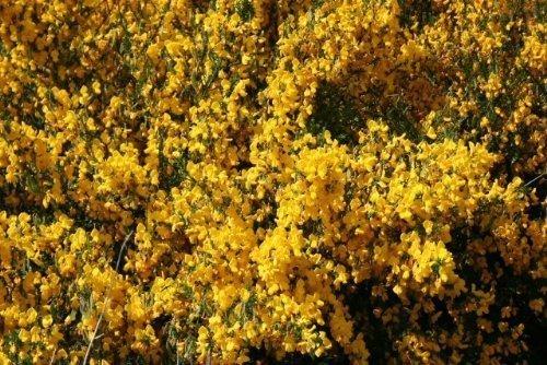 Tree Seeds Online - Cytisis Scoparius Écossais Genêt À Balais. 100 Semences - 10 Paquets