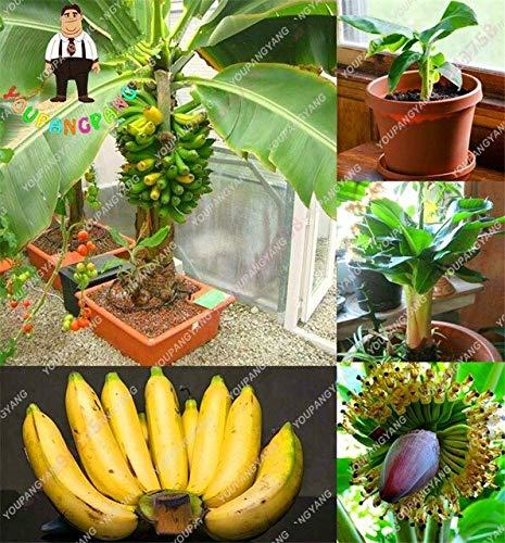 graines Banana fruits de SVI frais pour plantation jaune