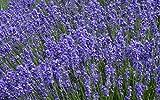 50 graines semences fleurs VRAIE lavande violet / bleu tige gris argent pour charmer les papillons abeilles