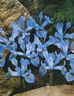 Cantab Dwarf Iris