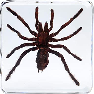 LOOYAR Real Spider Resin Insect Paperweight Desk Decoration Taxidermy Animals Biology Anatomy Educational Teaching Tool Toy S