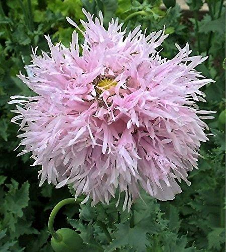 500 LILAC POMPOM PEONY POPPY Papaver Somniferum Purple Pompon Flower Seeds