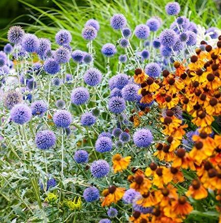 Beautytalk-Garten Riesen Kugeldistel Blau Echinops Samen winterhart mehrjährig Kugeldistel Blau Schnittblume Wildgarten pflanzen Saatgut Blumen für Balkon/Garten