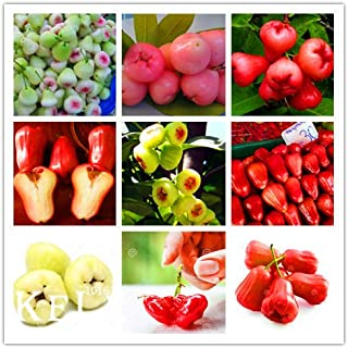 Best rose apple tree for sale Reviews