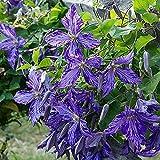 Plantar ahora,Bulbos de clemátide,Flores reverdecimiento ambientales,Agradable a la vista,Embellecer el medio ambiente-4 Bulbos