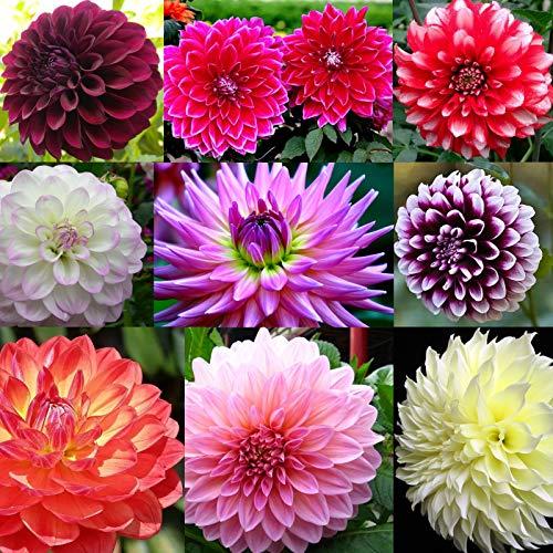 Rare Beautiful Perennial Mixing Color Dahlia Flowers Seeds 100PCS