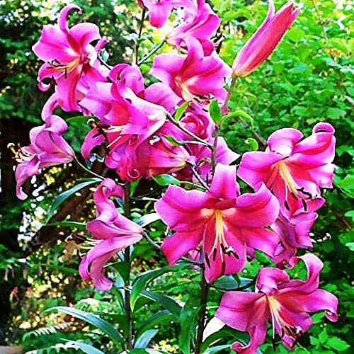 1x Lilien Zwiebel Baumlilien pflanzen Blumenzwiebeln Baumlilie Rosa Riesenlilie