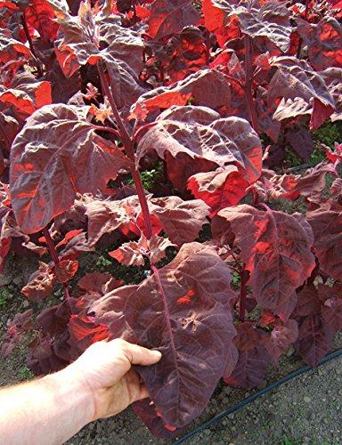 Reinsaat CV13 Gartenmelde Rubinrot (Bio-Gartenmeldesamen)
