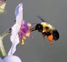 Toyensnow - White Blush VERBASCUM Blattaria Albiflorum Moth Mullein Flower Seeds (100 Seeds)