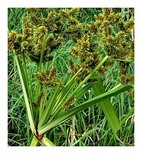Cyperus dives - Herbes décoratives - 20 graines