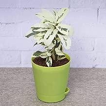 Ugaoo Ficus Prestige Plant with Self Watering Pot