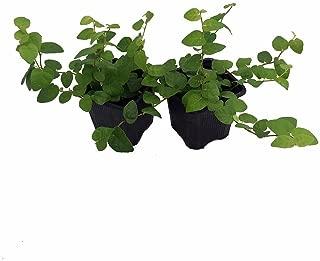 Green Creeping Fig 2 Plants - Ficus - 3