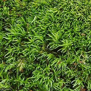 (観葉植物)苔 ヤマゴケ(ホソバオキナゴケ・アラハシラガゴケ) 1パック分