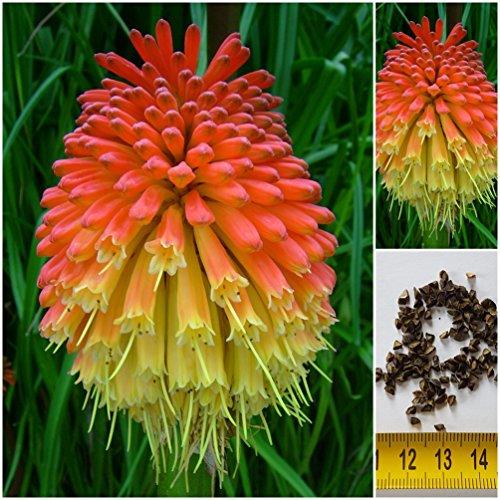 Fackellilie - Kniphofia uvaria - Rakentenblume - Samen - ! (50)