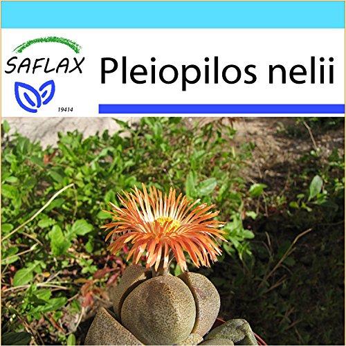 SAFLAX - Geschenk Set - Sukkulenten - Lebender Granit - 40 Samen - Mit Geschenk- / Versandbox, Versandaufkleber, Geschenkkarte und Anzuchtsubstrat - Pleiospilos nelii