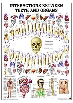 Correlation Between Teeth and Organs Laminated Anatomy Chart