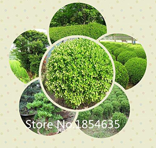 Jardin des plantes plantes Excellent pot, 200pcs / lot Buxus sinica, chinois semences de buis arbre bonsaï graines livraison gratuite Bonsai S