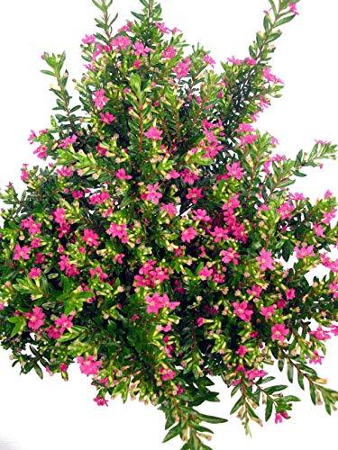Myrte pink - Der Dauerblüher bis in den Herbst