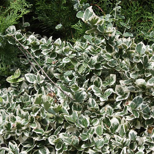 Plant World Seeds - Euonymus Fortunei...