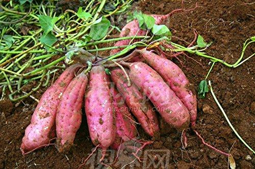 Brown: 50Pcs / Sac à rendement élevé de légumes Graines Ipomoea Batatas Graine géant de patates douces plantes comestibles légumes feuilles vert