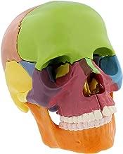 MonMed Didactic Human Skull Model – Half Life Sized Skeleton Skull 15 Piece Anatomical Skull Model Skull Puzzle, Colored