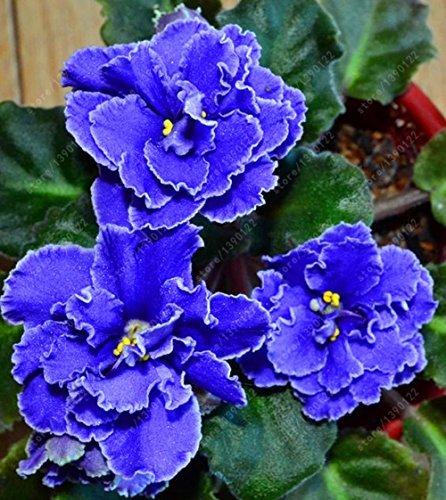 (100pcs Seeds) 100 pcs/Bag African Violet Seeds, Bonsai Flower Seeds for Home Garden Plant Perennial Herb high Budding Garden Flowers Seeds 3