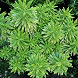 1 X Euphorbia 'Ascot Rainbow' Spurge Evergreen Shrub Hardy Garden Plant in Pot