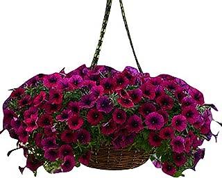 Petunia - Shock Wave Deep Purple F1 - Deep Purple Flower Seeds - 100 Seeds