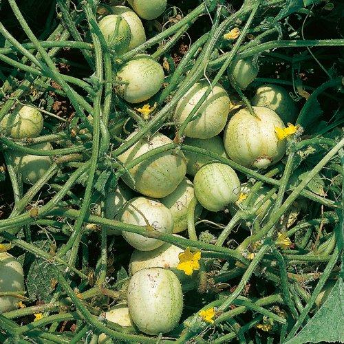 Suttons Seeds 189507 Graines de concombre rond