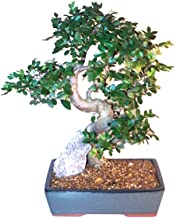 chinese elm bonsai styles