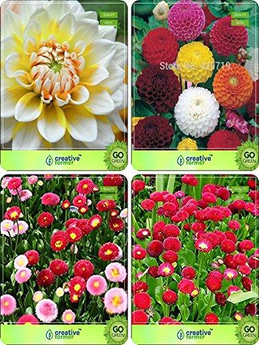 BloomGreen Co. Blumensamen: Gartenpflanzen Samen für Home Sommer & Winter Combo Dahlia -Schönheit, Dahlie -Pompon, Daisy-Double, Daisy Red Blumensamen Pack von BloomGreen Co. Farmer