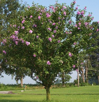 100 Purple Rose of Sharon Seeds