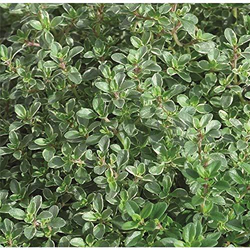 Thymian 'Silver Queen', Silber-Thymian-Pflanze - Kräuterpflanze, winterhart, im Topf, in Gärtnerqualität von Blumen Eber - 13-14 cm