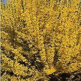 TOMASA Seedhouse- Giardino forsizia, campane d'oro resistenti perenni campane d'oro verde forsizia arbusti semi per giardino