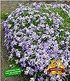 BALDUR-Garten Blauer Teppich-Phlox