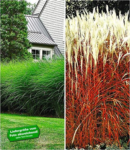BALDUR-Garten Hohe Ziergräser-Kollektion, 4 Pflanzen Chinaschilf Eulalia 3 Pflanzen und Ziergras Indian Summer 1 Pflanze