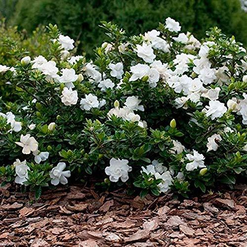 El envío libre 50 pedazos semillas blancas del jazmín, jazmín árabe fragante planta la semilla de flor 49%