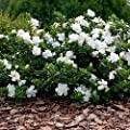 El envío libre 50 pedazos semillas blancas del…