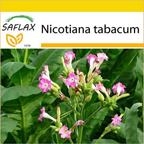 SAFLAX - Anzucht Set - Echter Virginischer Tabak - 250 Samen - Mit Mini-Gewächshaus, Anzuchtsubstrat und 2 Töpfen - Nicotiana tabacum
