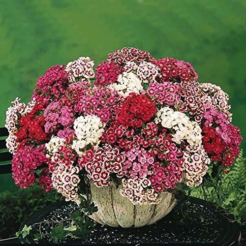 Qulista Samenhaus - Rarität Rot Bodendecker-Nelke Blütenmeer für Bienen, Hummeln und Schmetterlinge, Blumensamen winterhart mehrjährig (20pcs)