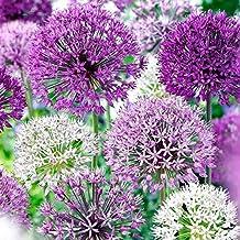 Allium Purple Blend 30 Bulbs-4-6 Inch Flower Diameter!