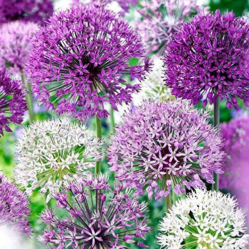 Daylily Nursery Thanos Allium Purple Blend 30 Bulbs-4-6 Inch Flower Diameter!