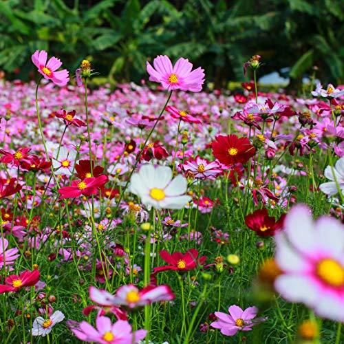 Crazy for Cosmos (Cosmos bipinnatus) Miscela di semi di fiori non OGM-Cosmos Confezione sfusa di 1500+ semi (10g)