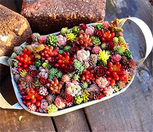 Bloom Green Co. 200PCS Mezcla Lithops Flor de piedra viva Planta suculenta Hogar y jardín Suministros Decoración colorida Mini Bonsai: Mezcla