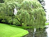 Weeping Willow Tree - 6 Inches Tall
