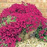 Risitar Graines - 100pcs Rare Poivre des murailles phlox mousse tapis de fleurs, plantes tapissantes Grainé fleur jardin Plantes vivaces résistante au froid en rocaille, en bordure, sur muret