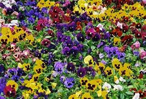 Pansy Mix suisse (Viola Tricolor Maxima) Mixte 50 graines Colors-