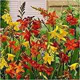 Crocosmia 'Large Flowering' montbretia Bulbs x 50 Mixed Colours Summer Flowering by Growtanical®