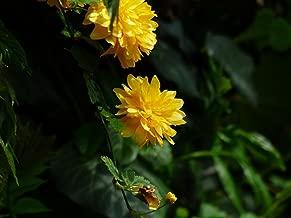 japanese kerria bush